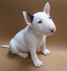 l-Baby-bull-terrier